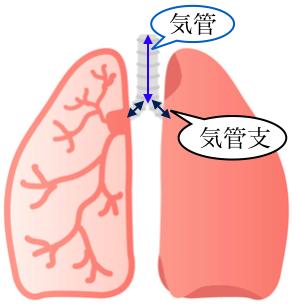気管と気管支の図
